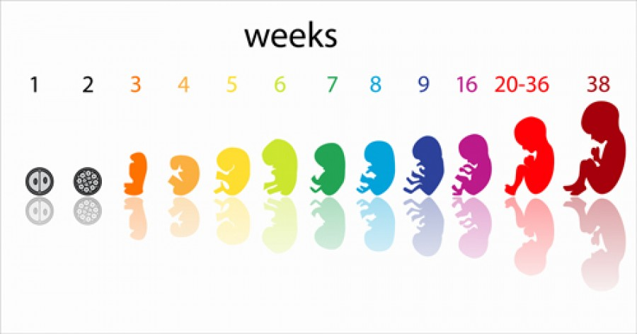 Week by Week Development of the Foetus