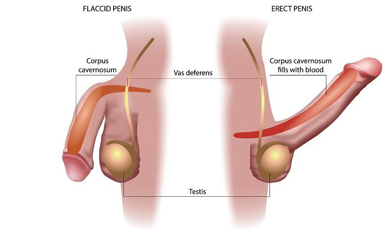 male_reproductive_system_erection_ejaculation